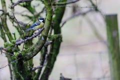 栖息在分行的极大的山雀 免版税库存图片
