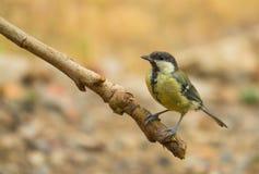 栖息在分行的极大的山雀 库存照片