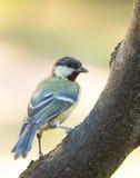 栖息在分行的极大的山雀 免版税库存照片