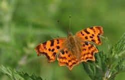 栖息在叶子的一个惊人的逗号蝴蝶聚乙烯性原细胞c册页 库存照片