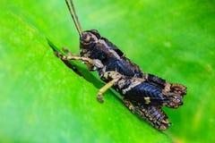 栖息在叶子的蚂蚱 库存照片