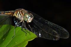栖息在叶子的蜻蜓 免版税库存图片