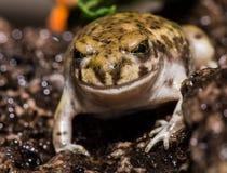 栖息在岩石的友好的看的青蛙 免版税库存图片