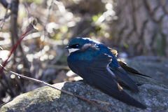 栖息在岩石的树燕子 免版税库存图片