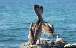 栖息在岩石露出的加利福尼亚布朗鹈鹕和海鸥在喜瑞都靠岸在蓬塔罗伯斯在下加利福尼亚州墨西哥 免版税图库摄影
