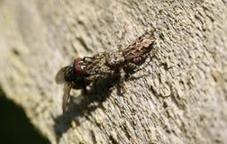 栖息在有一次飞行的木篱芭的一小篱芭岗位跳跃的蜘蛛Marpissa muscosa在它捉住了的它的爪 库存照片