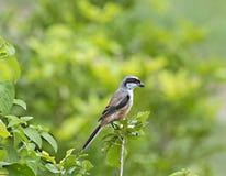 栖息在树枝杈的长尾的shrike 免版税图库摄影