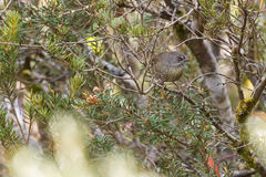 栖息在树枝的塔斯马尼亚的棕色Scrubwren鸟在森林里 免版税图库摄影