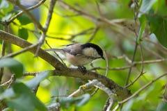 栖息在树枝的逗人喜爱的小的沼泽山雀鸟在秋天期间 库存图片