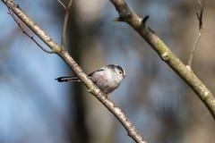 栖息在树枝的长尾的山雀有被弄脏的背景 图库摄影