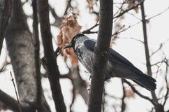 栖息在树枝的戴头巾乌鸦 免版税库存图片