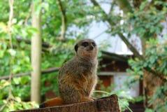 栖息在树桩的Meerkat 库存照片