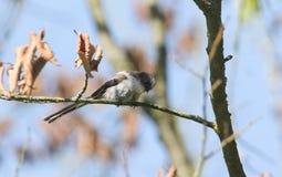 栖息在树的一个分支的一逗人喜爱的少年长尾的山雀Aegithalos caudatus 库存照片