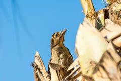 栖息在树的幼小thrasher鸟 库存图片