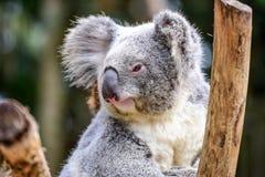 栖息在树的树袋熊特写镜头 免版税库存图片