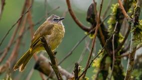 栖息在栖息处和喘气全身羽毛的逐渐变黄歌手 免版税库存照片