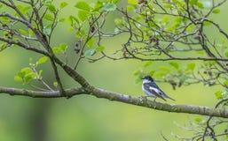栖息在河的一棵柳树的公染色捕蝇器 图库摄影