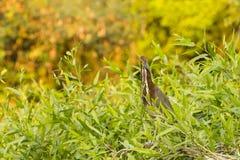 栖息在灌木的一只成熟带红色老虎苍鹭 免版税库存图片