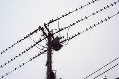 栖息在电缆的很大数量的小鸟在Jap 库存图片