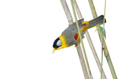 栖息在竹分支的鸟 (银有耳的mesia) 免版税库存图片