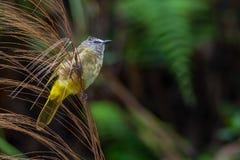 栖息在竹草花和喘气全身羽毛的逐渐变黄歌手 免版税图库摄影