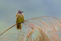栖息在竹草花和喘气全身羽毛的逐渐变黄歌手 免版税库存照片