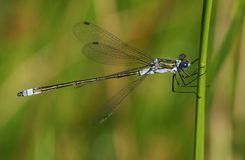 栖息在芦苇的一俏丽的男性鲜绿色蜻蜓Lestes sponsa在水的边缘 库存图片