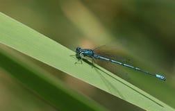 栖息在芦苇的一美丽的天蓝色的蜻蜓Coenagrion puella 免版税库存照片