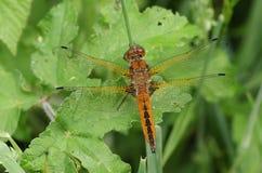栖息在草的一惊人的缺乏追赶者蜻蜓Libellula fulva 免版税库存图片