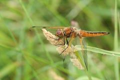 栖息在草种子头的一惊人的缺乏追赶者蜻蜓Libellula fulva 免版税库存图片