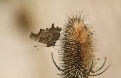 栖息在起毛机植物川续断属的一个俏丽的逗号蝴蝶聚乙烯性原细胞c册页 库存图片