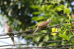 栖息在输电线的两只斑马鸠 库存照片