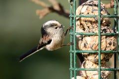栖息在鸟饲养者的长尾的山雀 库存图片