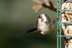 栖息在鸟饲养者的长尾的山雀 免版税图库摄影