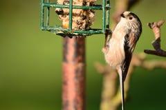 栖息在鸟饲养者的长尾的山雀 免版税库存照片