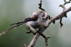 栖息在鸟饲养者的长的tasiled山雀 免版税库存照片