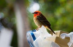 栖息在水肺面具的红色Fody 库存图片