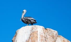 栖息在La Anegada岩石的公鹈鹕在Los卡约埃尔考斯/土地在Cabo圣卢卡斯巴哈墨西哥结束 库存图片