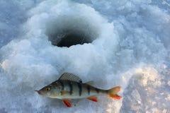 栖息处捕鱼 图库摄影