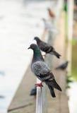 栖息处鸽子坐 免版税图库摄影