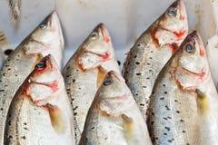 栖息处(鲈鱼属fluviatilis) 免版税库存图片