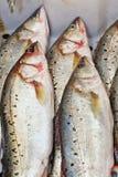 栖息处(鲈鱼属fluviatilis) 免版税库存照片
