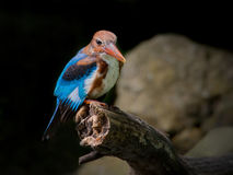 白红喉刺莺的翠鸟 库存照片