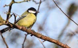 栖息的伟大的山雀 免版税图库摄影