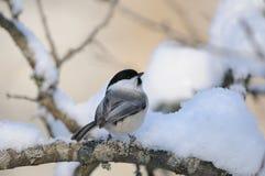 栖息的杨柳山雀 库存图片
