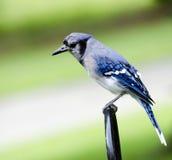 栖息的蓝色尖嘴鸟 图库摄影