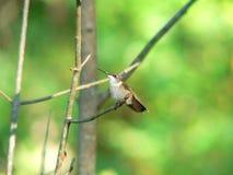 栖息的蜂鸟 免版税图库摄影