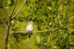 栖息的被察觉的捕蝇器在春天 库存图片