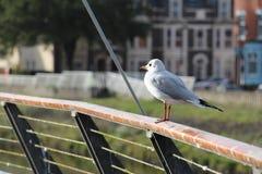 栖息高度在扶手栏杆白色鸥-加的夫,威尔士,英国 图库摄影