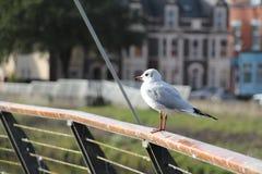 栖息高度在扶手栏杆白色鸥-加的夫,威尔士,英国 免版税图库摄影
